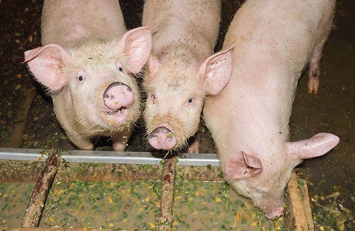 5 phương thức cho heo con ăn để phòng chống tiêu chảy